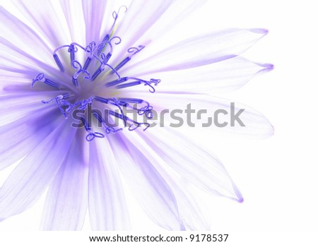Close-up of blue corn flower with white background