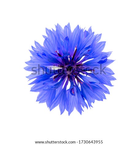 Close up of blue cornflower flower isolated on white background.  Blue Cornflower Herb or bachelor button flower. Macro picture of corn flowers. Foto stock ©