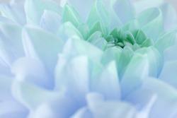 close up of blue dahlia