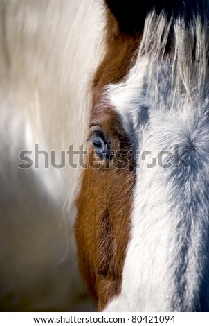 Close-up of Blue Eyed Paint Gelding