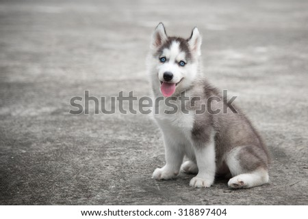 Close Up Of Blue Eyes Siberian Husky Sitting Ez Canvas
