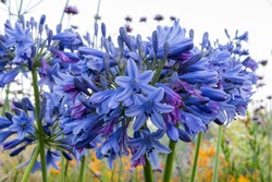 Close up of blue flowers of African Lily, Agapanthus 'Margaret' (Lily of the Nile) covered with early morning dew.