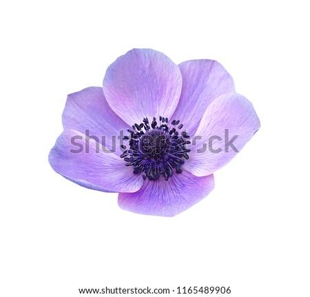 Close up of blue Japanese Anemone flower On white background