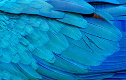 Close up of Blue macaw birds feathers background and texture.