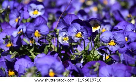 Close up of blue pansy flowers or pansies blooming in the garden. Close-up of blooming Spring Flowers. Season of flowering pansies. Pansy blooming in the Spring.