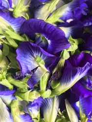 Close up of Blue Pea flower or Asian Pigeonwings (Clitoria ternatea), these vine plant is a blue variation of Butterfly Pea or in Indonesia called Kembang Telang