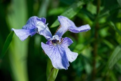Close-up of blue Siberian Iris (Iris sibirica) or Siberian flag against blurred green background. Perennial plant with purple-blue flowers with white - yellow centre.There is place for your text.