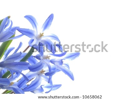 Close-up of blue spring scilla against white background