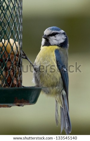 Close up of blue tit sitting on a birdfeeder with peanuts