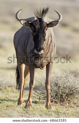 Close-up of Blue Wildebeest; Connochaetes taurinus; South Africa