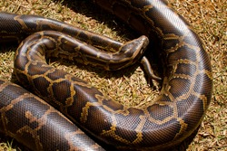 Close up of Boa Constrictor snake.