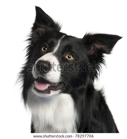 Close-up of Border Collie, 4 years old, in front of white background - stock photo