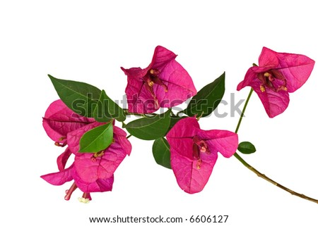 Close-up of  bougainvillea sprout with purple flowers against white background
