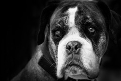 Close-up of boxer breed dog with dark, black background and expressive eyes. Horizontal format