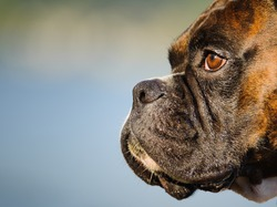 Close up of Boxer dog face and snout