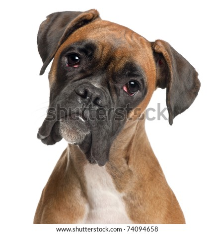 Close-up of Boxer, 12 months old, in front of white background #74094658