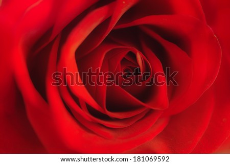 Close up of bright red rose. soft focus #181069592