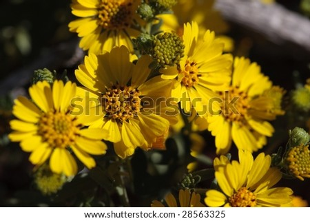 Close up of bright yellow tar weed flowers