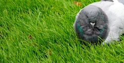 Close up of british pidgeon low level macro view wild bird showing reflective grey feathers head and eyes