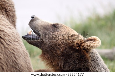 Close up of brown bear\'s head as seen from the side with mouth open and nose in air