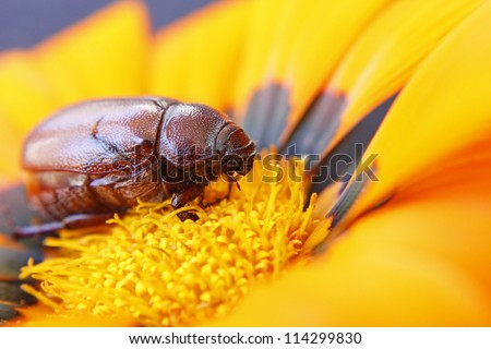 Close-up of brown beetle on a flower