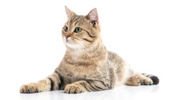 Close up of Brown British cat lying on white background isolated