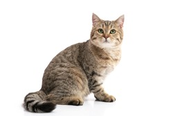 Close up of Brown British cat sitting on white background isolated