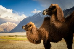 Close up of brown camels in dusty Nubra valley dune with majestic mountain peak, cloudscape and blue sky with vast sand dune background.