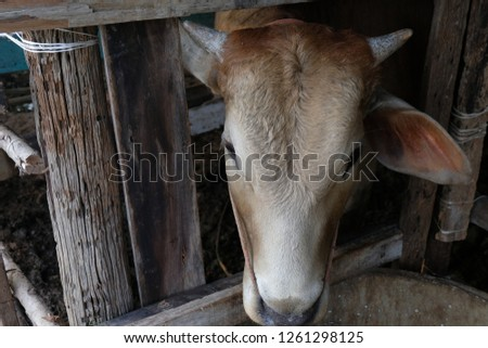 close up of brown cow's face in local farm.