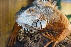Close up of brown Iguana