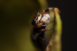 Close-up of brown jumping spider on a green leaf. Cute baby Phidippus regius curiously exploring. Cute regal jumping spider in her natural habitat.