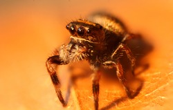 Close-up of brown jumping spider on a yellow leaf. Cute baby Phidippus regius exploring. Cute regal jumping spider in her habitat.