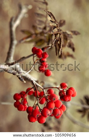 Close up of bunch of rowan berries in autumn. Selective focus.