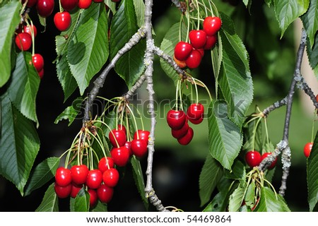 Close up of bunches of ripe cherries, still hanging on the tree