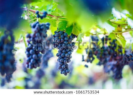 Close-up of bunches of ripe red wine grapes on vine