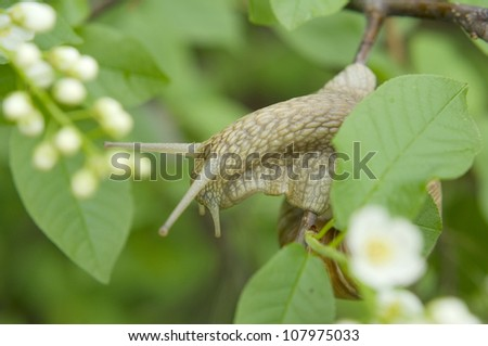 Close-up of burgundy snail walking on the leaf, also known as Roman snail, edible snail or escargot