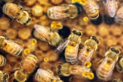 Close-up of busy and hectic life of honey bees feeding their young generations on the honeycomb in the apiary. Soft focus with blurry movement.