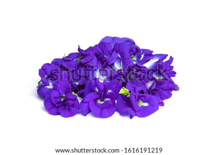 Close up of Butterfly pea flower on white background , Clitoria ternatea. Butterfly pea or blue pea flower.