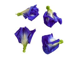 Close up of Butterfly pea flowers on isolated white background. Clitoria ternatea, Asian pigeonwings, Bluebellvine, Blue pea, Cordofan pea, Darwin pea.