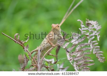 Close up of Calotes versicolor Daudin, Red-headed Lizard or Indian Garden Lizard. #613288457
