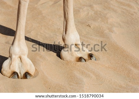 Close-up of Camel Feet (large leathery pad), in the desert of sand