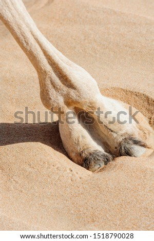 Close-up of Camel Foot (large leathery pad), in the desert of sand