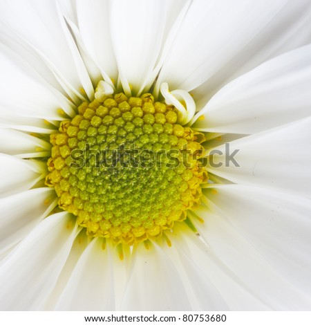 Close up of camomile flower on white background