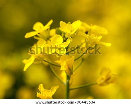 Close up of canola or rapeseed blossom used for alternative energy