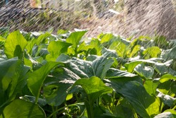 Close-up of Cantonese green lettuce in garden. Agriculture organic and farmer is watering it.