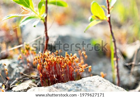Close-up of capsules sporophytes of moss Polytrichum commune, common haircap, great golden maidenhair among stones and other plants, botanical, ecosystem, plant growth, selective focus Photo stock ©
