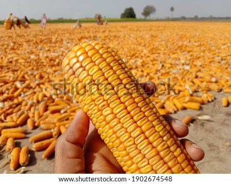 Close up of capture of yellow corn. A man holding Yellow ripe corn in hand in corn field. Photography of Corn field product of agriculture Pakistan