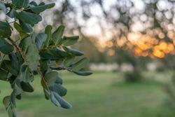 Close-up of carob tree (Ceratonia siliqua) in a field on the island of Mallorca at sunrise. Unfocused background. Balearic Islands, Spain