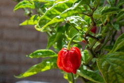 Close up of Carolina Reaper in home garden, is currently the hottest pepper in the world, Ripe Carolina Reaper.Red chilis.Italy organic garden.Harvest