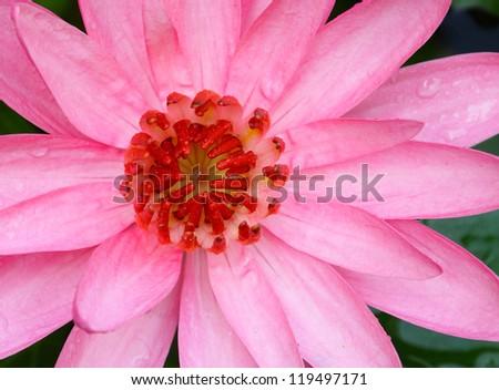 Close up of carpel pink lotus flower